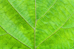 Green leaf of hazel tree Royalty Free Stock Images