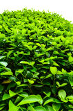Green Leaf. The healthy tropical green leaves Royalty Free Stock Photography