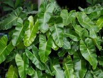 Green leaf heart shape in garden. Green leaf heart shape in garden Stock Photos