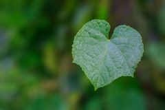 Green Leaf in Heart Shape with Blurry Background royalty free stock photos