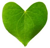 Green leaf heart shaped. Valentine`s Day concept. Protection of environment concept Stock Photo