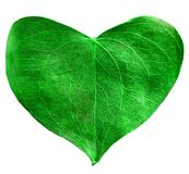 Green leaf heart shaped. Valentine`s Day concept. Protection of environment concept Stock Photos