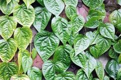 Green leaf. Hedge of green leaf background Stock Images
