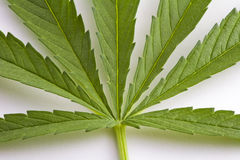 Green leaf of Hemp Stock Image