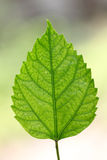 Green leaf of Hibiscus Royalty Free Stock Photos