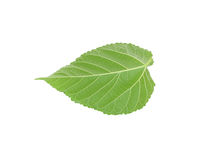 Green leaf of Hibiscus Stock Photo