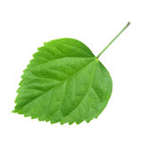 Green leaf of Hibiscus Stock Photos