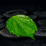 Green leaf hibiscus on zen basalt stones with drops in water, be Stock Photography