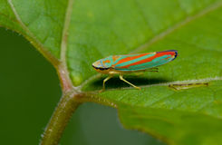 Green leaf hopper Royalty Free Stock Photography