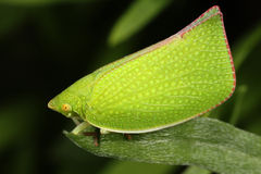 Green leaf hopper Stock Image