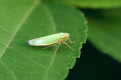 Green leaf hopper Stock Images