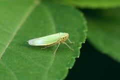 Green leaf hopper Stock Images
