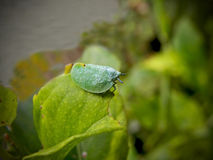Leaf Hopper Royalty Free Stock Images