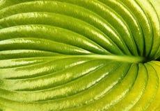 Green leaf of hosta closeup Stock Photography