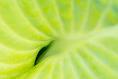 Green leaf of a hosta plant Royalty Free Stock Photography