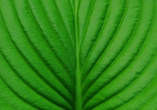 Green leaf hosts closeup Royalty Free Stock Photography
