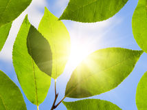 Green Leaf In A Sunny Day Stock Photos