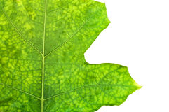 Green leaf isolate Royalty Free Stock Image