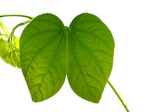 Green leaf isolate Stock Image