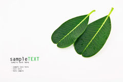Green leaf isolate on white Royalty Free Stock Photo