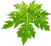 Green leaf isolate on white Stock Images