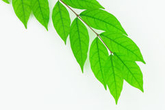 Green leaf isolate on white background Royalty Free Stock Photos