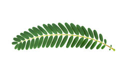 Green leaf isolate on white background. Royalty Free Stock Images