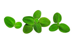 Green leaf  isolate on  white background Stock Photo