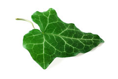 Green leaf isolated Stock Image