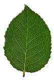 Green leaf isolated Royalty Free Stock Photos