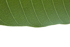 Green leaf with isolated background and space for text below Royalty Free Stock Photos