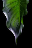 Spring Green Leaf. Spa Ambient. Green leaf isolated on a black background Royalty Free Stock Photo