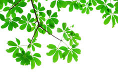 Green leaf isolated in nature. For background and texture royalty free stock photography