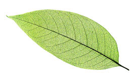 Green Leaf Isolated On White Stock Image