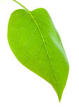 Green leaf isolated. One green leaf isolated on a white background Royalty Free Stock Images