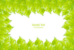 Green leaf isolated on the white. Royalty Free Stock Photo