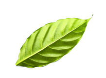 Green leaf isolated. On white Royalty Free Stock Image