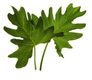 Green leaf isolated on white Royalty Free Stock Image