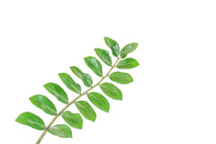 Green leaf. Isolated on white background Stock Images