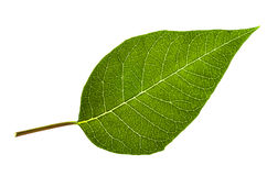 Green leaf isolated on white. Stock Photography