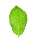 Green leaf isolated on a white background Stock Photos