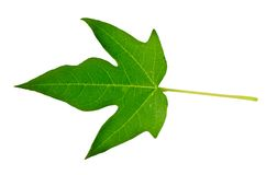 Green leaf isolated. On white background Royalty Free Stock Images