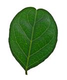 Green leaf isolated. On white background Royalty Free Stock Image
