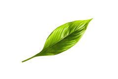 Green leaf  isolated. On the white background Royalty Free Stock Photography