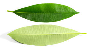 Green leaf isolated Royalty Free Stock Image
