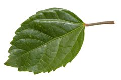 Green leaf isolated on white background. Leaf Clipping Path stock photo