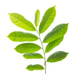 Green leaf. Isolated on white background ,Clipping path Royalty Free Stock Images