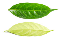 Green leaf isolated on white background Royalty Free Stock Images