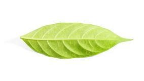 Green leaf isolated on white background Royalty Free Stock Photo