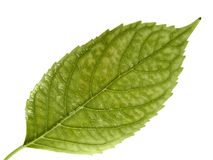 Green leaf. Isolated on a white Royalty Free Stock Photography
